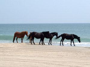 corola horses